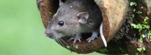 main_rat-in-tree
